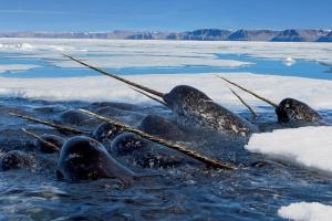 02-narwhal-in-ice